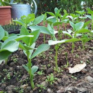 La germination comme une vidence jardin d 39 essai - Il faut cultiver notre jardin analyse ...