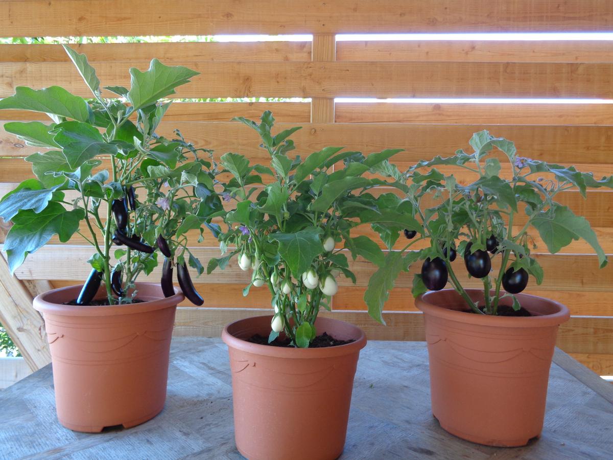 Faire Pousser Tomates En Pot variétés en pot : le compte-rendu - jardin d'essai