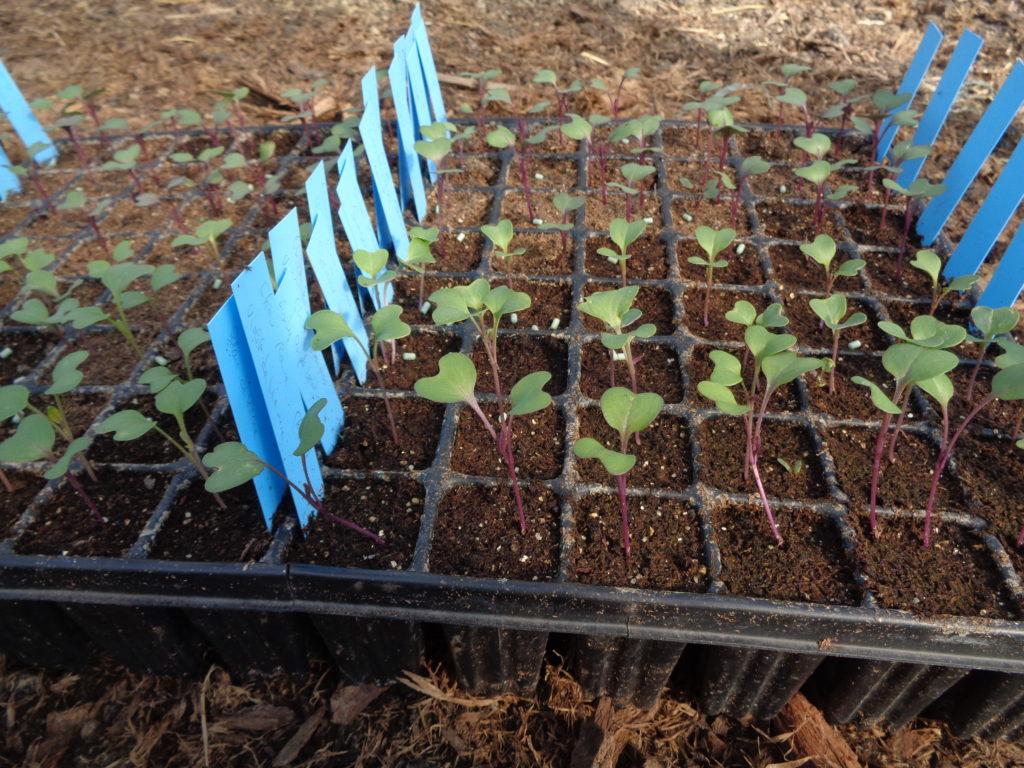 plantation de choux en plaques alvéolées