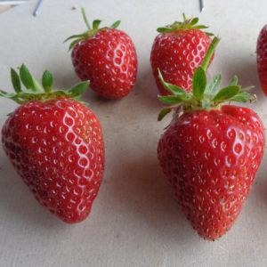 fraise Cijosée