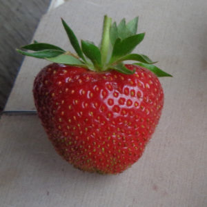 fraise Faith