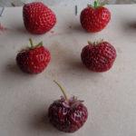 fraise Anared