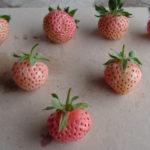 fraise Anablanca