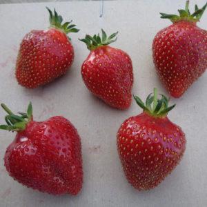 fraise Candiss