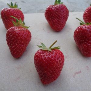 fraise Agathe
