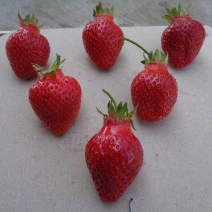 fraise Cireine