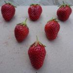 fraise Mara des Bois