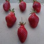 fraise Belrubi