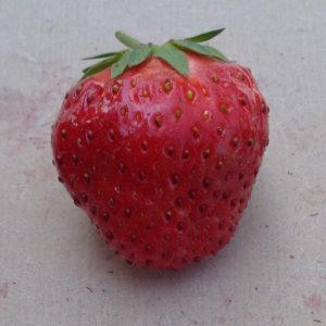 fraise Nova Gento
