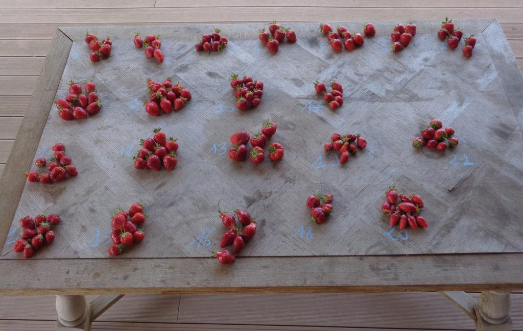fraise prête pour analyse et dégustation