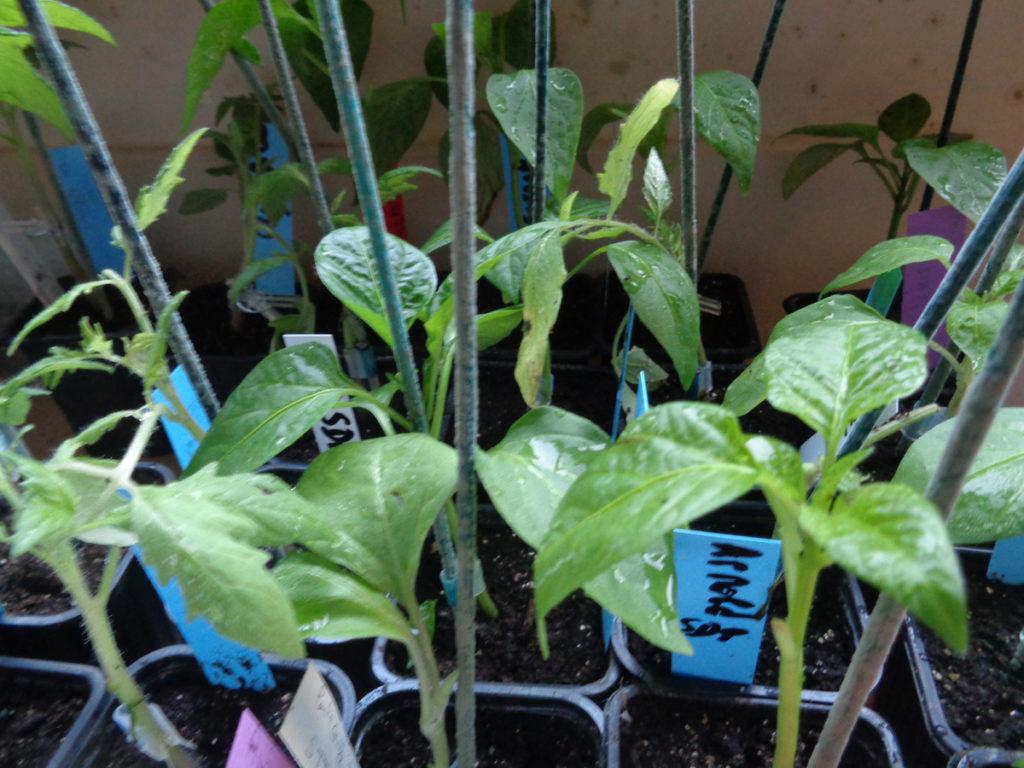 greffage de jeunes plants potagers : aubergines, tomates, poivrons