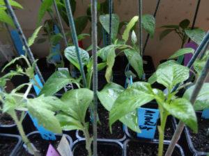 jeunes plants potagers greffés : aubergines, tomates, poivrons