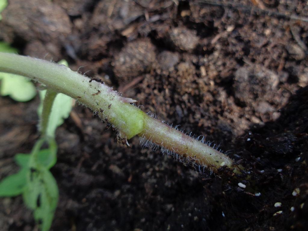 greffage : vue d'un jeune plant de tomate greffée