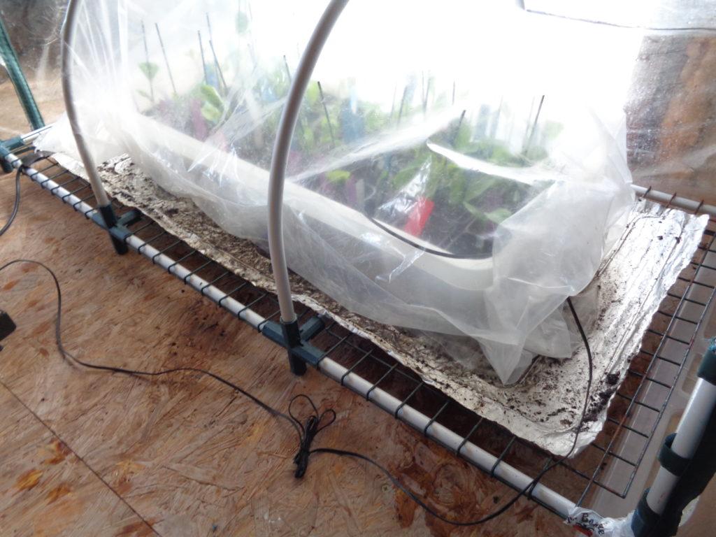plants greffés, première étape