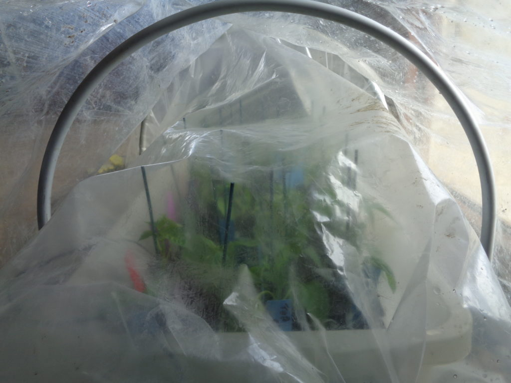 les plants greffés commencent leur vie à l'étouffée
