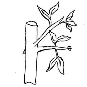 greffe par perforation latérale