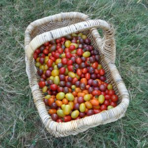 comparatif tomates cerises