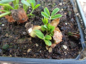 Jeunes pousses d'arachides (cacahuètes)