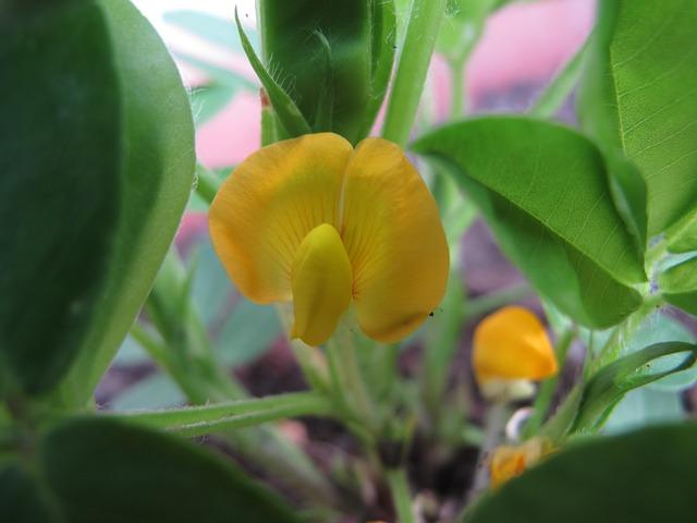 fleur d'arachide (cacahuète)