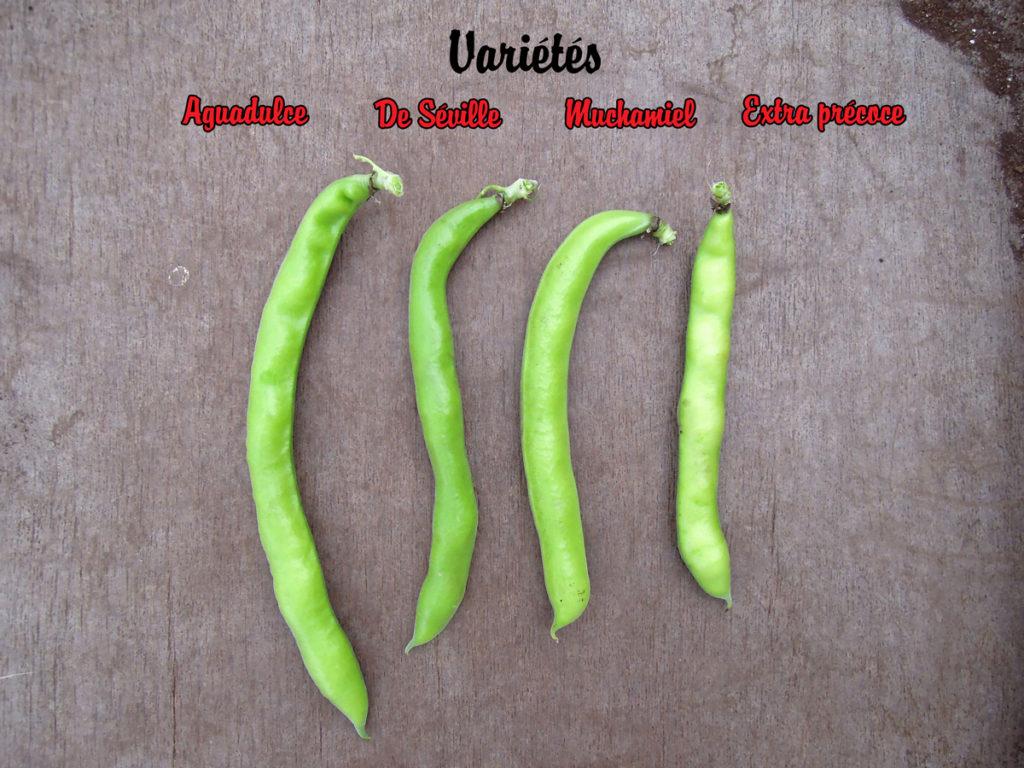 Différence de gousses entre les variétés de fèves