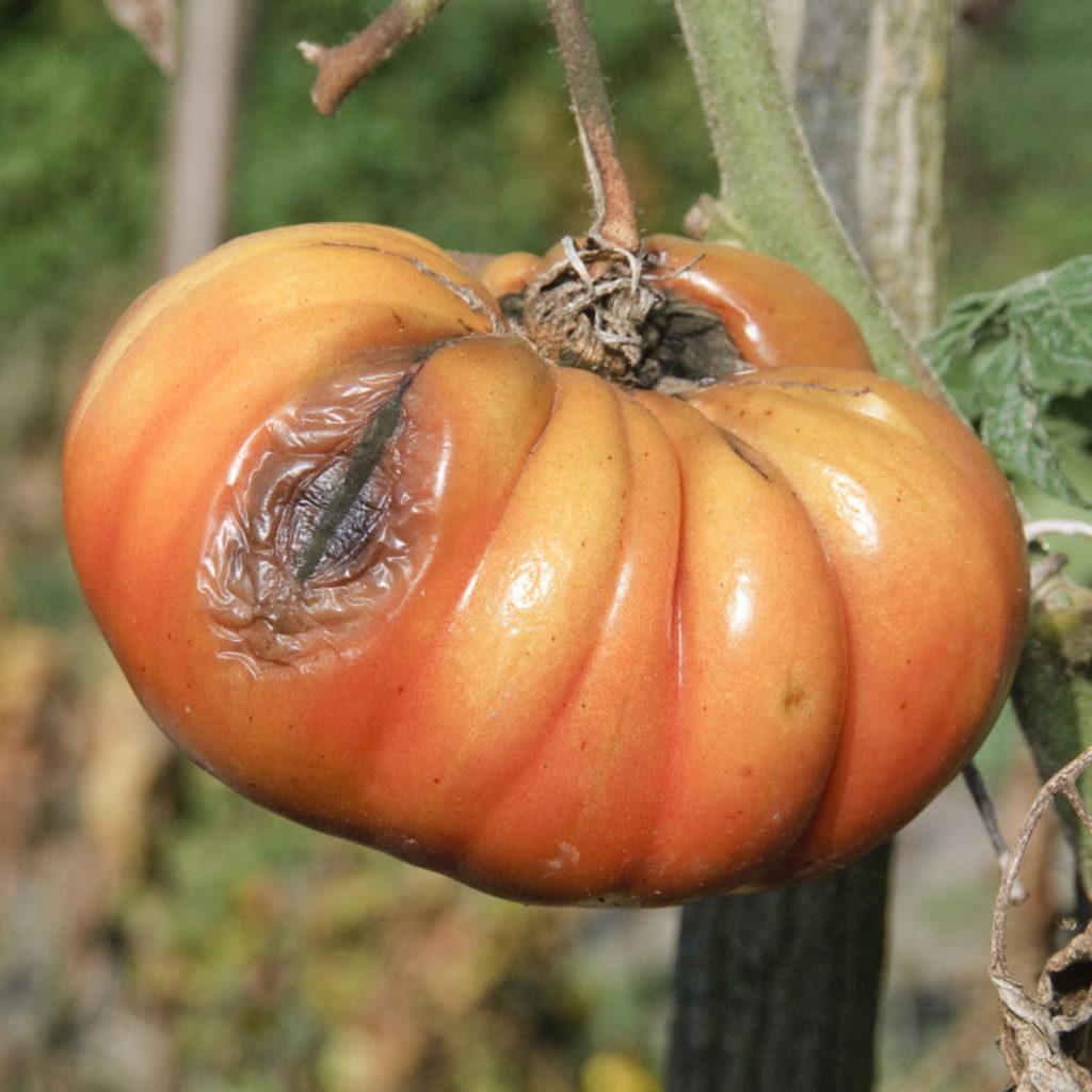 attaque de mildiou sur fruit (tomate)