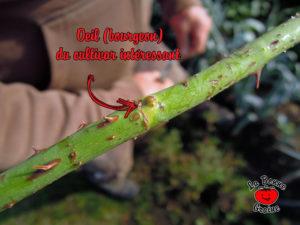 Œil du rameau du rosier à multiplier