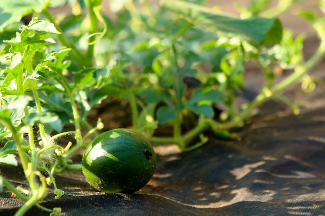 petit melon deviendra grand