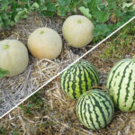 melon contre pasteque