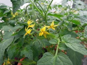fleurs de solanum lycopersicum