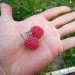 fruits du framboisier