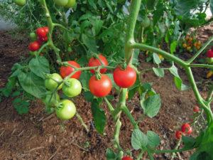 rafle de tomate