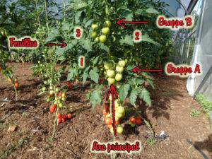 Architecture d'un plant de tomate