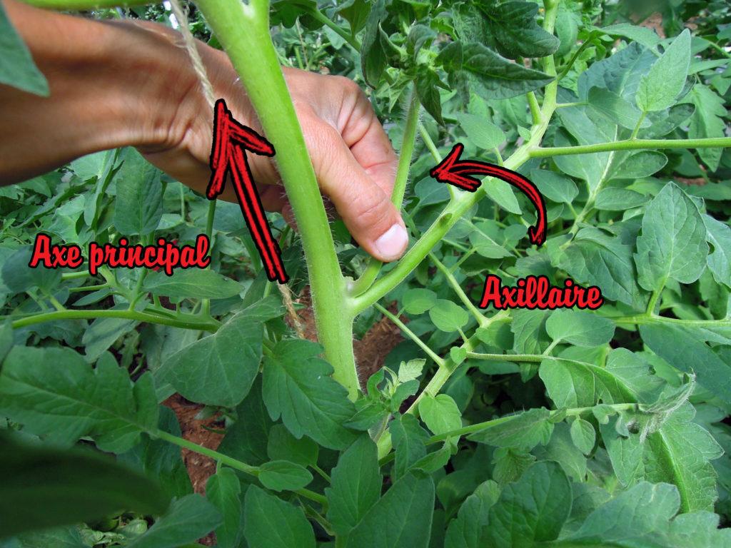 gourmand d'un plant de tomate