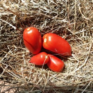 tomate Bellandine F1