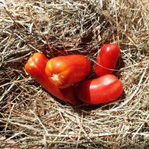 tomate Andine Cornue BIO