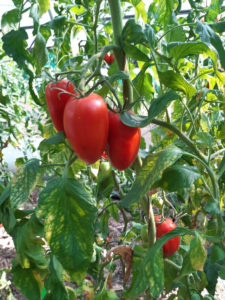 tomate bellandine F1 sur pied