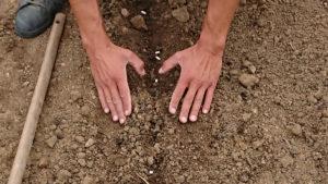 on recouvre légèrement les graines de haricots