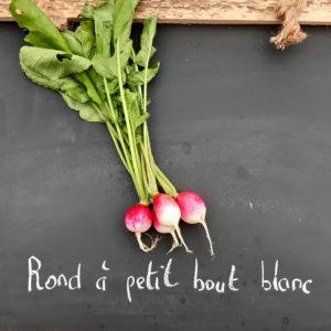 radis bout blanc