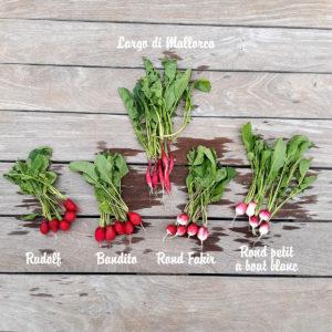 recolte radis