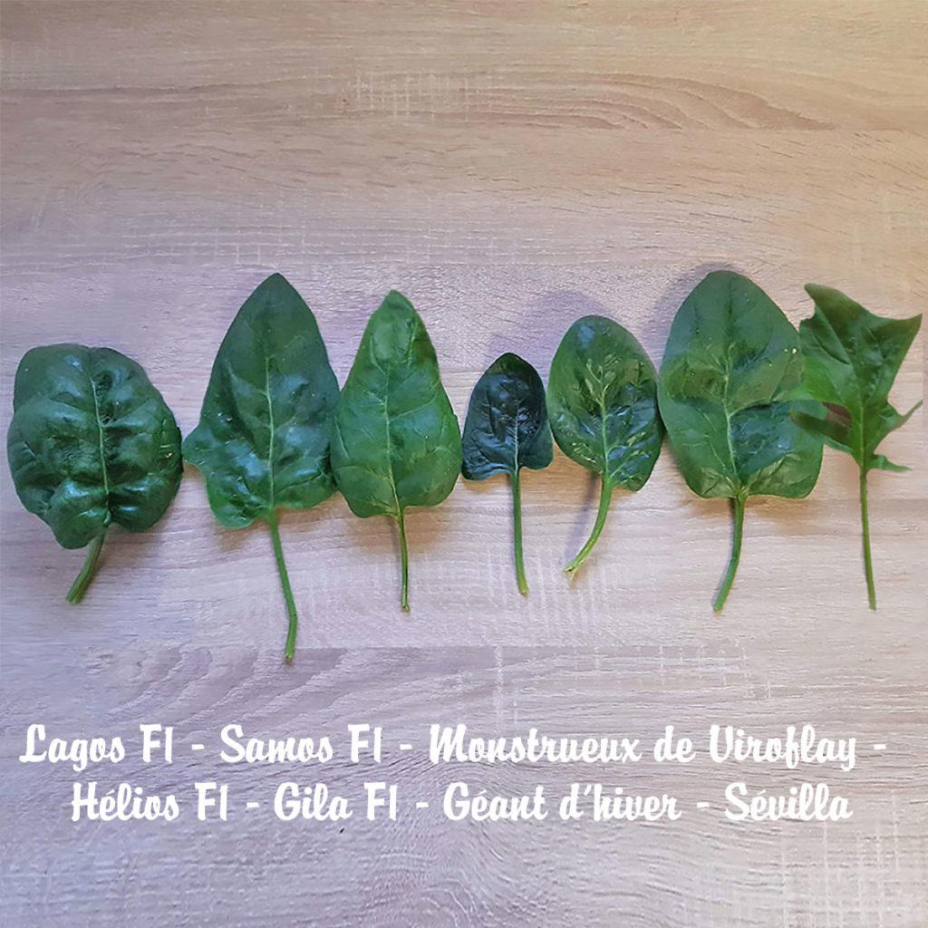 récolte épinards