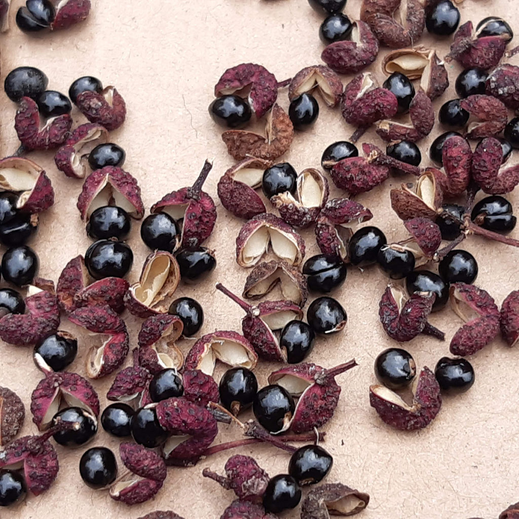 coque poivre