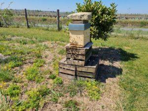 les abeilles sont en nombre et intègrent leur nouveau chez-soi.